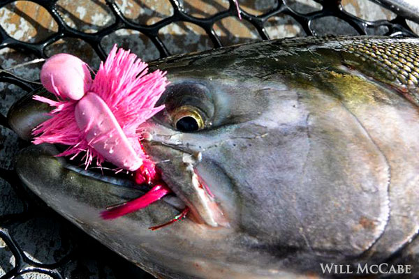 silver salmon polly wog